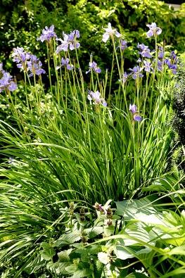 Krása kosatce sibiřského vynikne zvláště počátkem června. Květy se objevují hromadně na vrcholu listů a vypadají, jako by se vznášely nad zahradou.