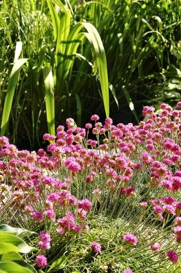 Růžová trávnička (Armaria) se ve štěrku ideálně rozrůstá a je skutečnou okrasou zahrady.