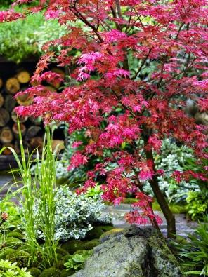 Acer palmatum 'Deshojo' raší vsytě červeném odstínu. Později dospívající listy zezelenají, ale mladé lístečky jsou vždy červené. To přináší zajímavý efekt až doprvní poloviny léta.