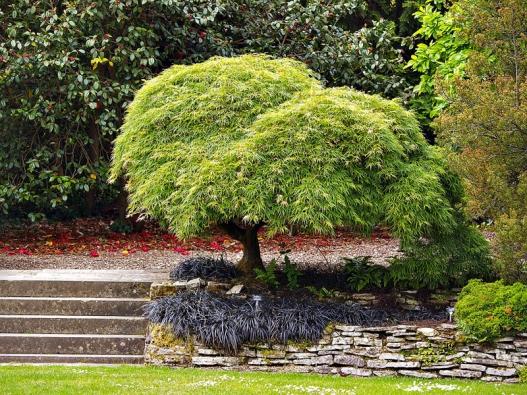 Acer palmatum 'Dissectum' vytváří široce rozložité, ale nepříliš vysoké keříky zelené barvy. Napodzim se vybarvuje dožlutě oranžových odstínů.