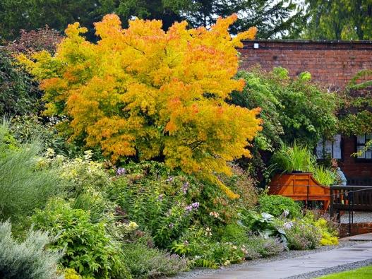 Acer palmatum 'Sangokaku', někdy také označován jako 'Senkaki', je během léta čistě zelené barvy. Napodzim se jeho barva mění dooranžově žlutých odstínů. Je velmi ozdobný ivzimním období, kdy jeho tenoučké větvičky získají svítivě červenou barvu.
