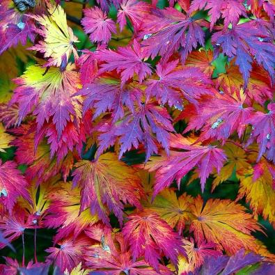 Acer japonicum 'Aconitifolium' – má poměrně velké listy zelené barvy, které se napodzim mění dovelmi nápadných světlých itmavých odstínů.