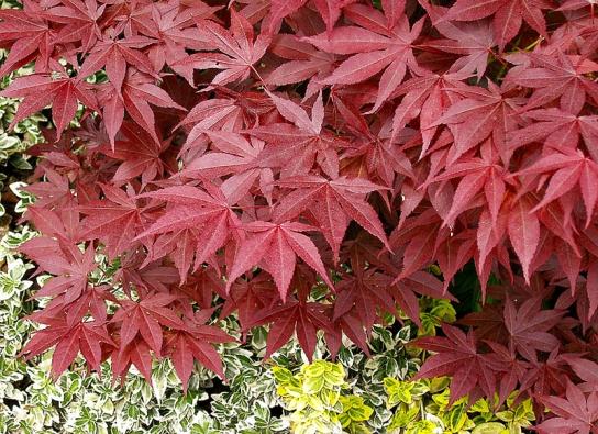 Acer palmatum 'Atropurpureum' – jedna znejběžnějších odrůd stmavě červeným listem. Neroste příliš rychle, ale může vdobrých podmínkách iunás dorůst až dovelikosti kolem 5m.