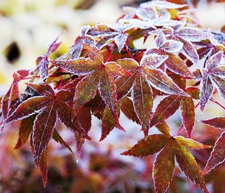 Acer palmatum 'Little Princess' – nízká odrůda něžného vzhledu, je vhodná ipro pěstování vnejmenších zahradách ivnádobách naterasách.