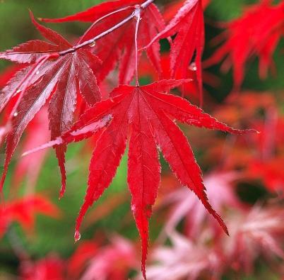 Acer palmatum 'Nicholsonii' – bujná, široce rostoucí odrůda, raší vbronzovém odstínu, během léta jsou listy tmavě zelené, napodzim intenzivně rudé až mírně purpurové.