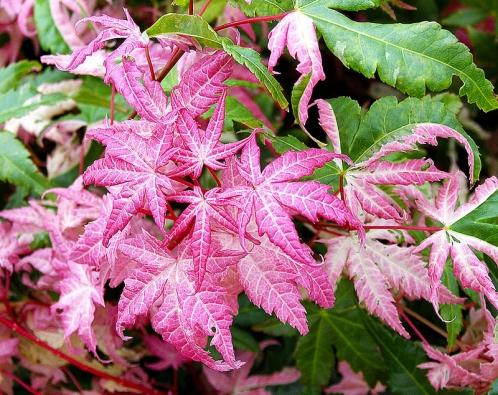 Acer palmatum 'Oridono – Nishiki' – štíhlý kultivar, který zadeset let dorůstá dovelikosti kolem 2m, vyznačuje se tím, že část listů má silný podíl růžové barvy, tento efekt je však velmi proměnlivý.