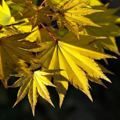 Acer shirasawanum 'Jordan' – vyznačuje se zlatě žlutou barvou listů vobdobí rašení. Během léta jsou listy světle zelené, napodzim žluté až žlutě oranžové. Roste vzpřímeně.