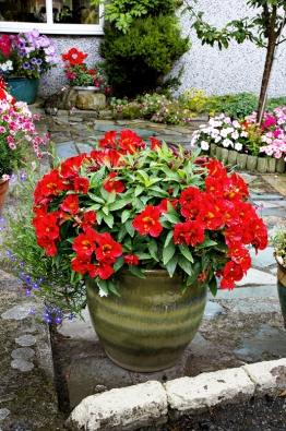 Alstroemeria Ligtu-hybrid je nádhernou květinou dochladnějšího avlhčího klimatu.