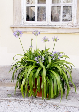 Kalokvět (Agapanthus) je oblíbený pro nebesky modré květy, bělokvěté formy takový půvab nemají.