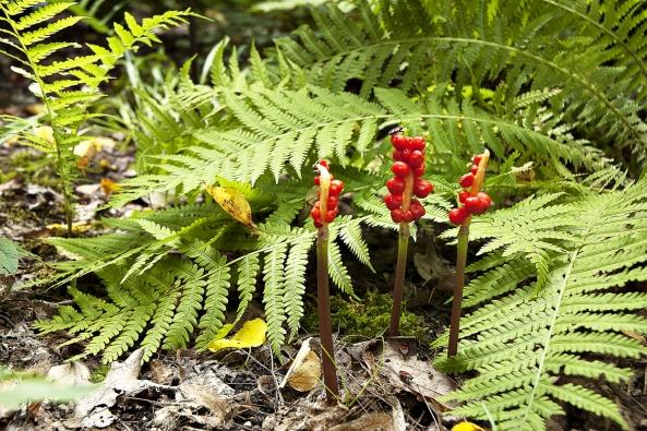 Okrasné plody áronu plamatého (Arum maculatum) jsou jedovaté.