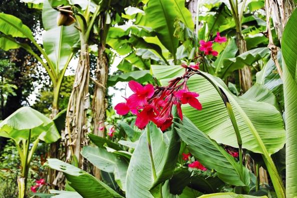 Dosna (Canna) se používá především jako dominanta záhonů, ale ani květy některých odrůd nezaniknou vpestrém záhonu.