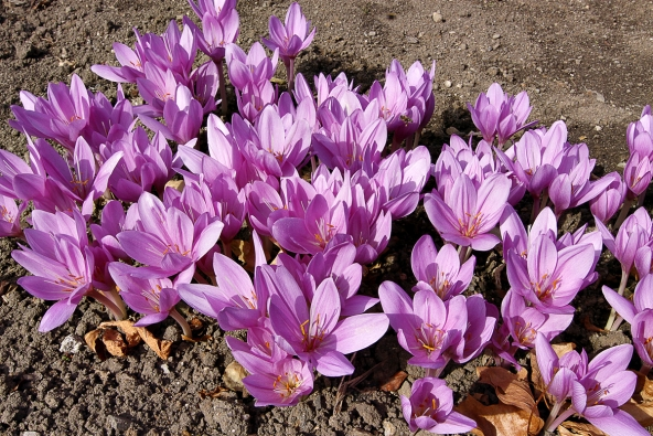 Ocúny naloukách naší přírody působí jemně akřehce, kultivary jsou robustnější asytěji zbarvené.