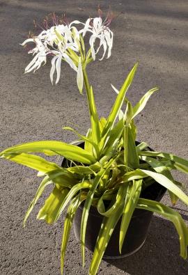 Crinum americanum patří mezi drobnější kříny, některé druhy aodrůdy jsou mnohem mohutnější.