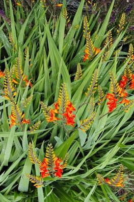 DETAIL: Ohnivé květy mombrécií (Crocosmia) vyniknou nastarších amohutných trsech, kde jich najednou rozkvetou desítky.