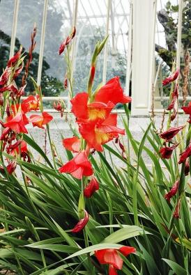 Kultivary mečíků (Gladiolus) zdobí zahradu krátce, ale nepřehlédneme je. Apatří knejlepším rostlinám křezu znašich zahrad.