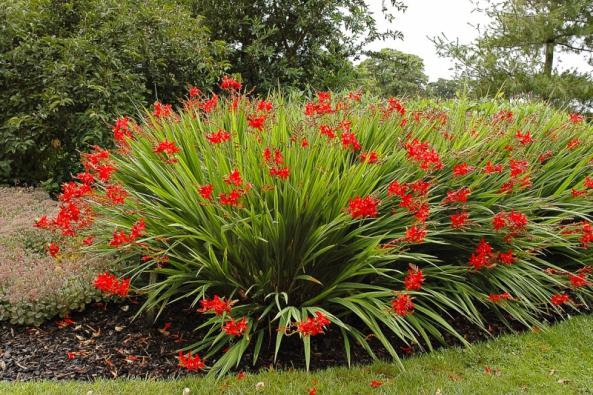 Ohnivé květy mombrécií (Crocosmia) vyniknou nastarších amohutných trsech, kde jich najednou rozkvetou desítky.