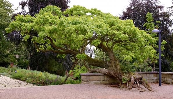 Starý jírovec patří spolu svzrostlými červenolistými buky ajavory knejvíce zastoupeným původním listnatým dřevinám.