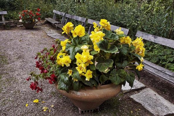Pěstitelé hlíznatých velkokvětých begonií mají nejvyšší čas rostliny vyndat z nádob a připravit hlízy na přezimování v bezmrazém prostoru.