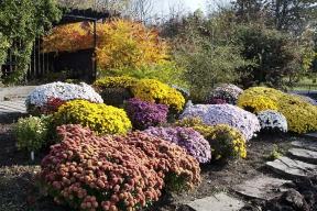 V říjnu zahradu ozdobí chryzantémy neboli listopadky.