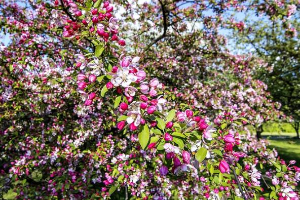 Stromy na slunce: Jabloň mnohokvětá Malus floribunda svýškou dospělého stromku do5 metrů, je jednou znejkrásnějších okrasných jabloní. Nejlépe poroste nasvětlých místech asvěžích půdách.