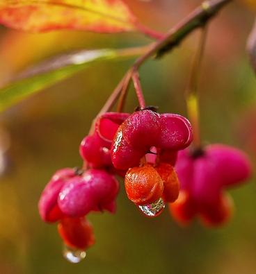 Stromy do stínu: Brslen Euonymus europaeus ´Red Cascade´ se často nabízí vetvaru stromku, který pak dosáhne asi 3–4 metrů výšky. Působivý je především vpodzimních azimních měsících násadou plodů.