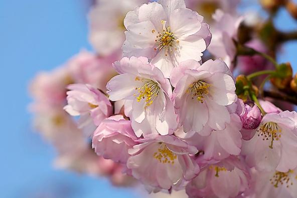 Stromy na slunce: Asi nejspolehlivější sakurou pro naše zahrady je kříženec Prunus ´Accolade´. Tvoří širší korunu svýškou od4 do8 metrů, podle výšky roubování. Patří kprvním kvetoucím stromům jara. Poloplné, velké květy růžové barvy jsou jedinečné. Vříjnu se zbarvuje dooranžové až karmínové barvy.