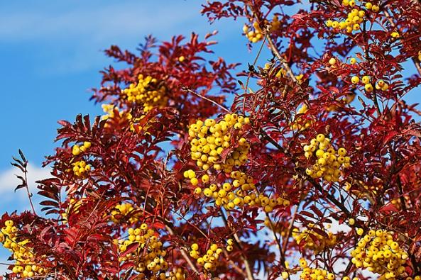 Stromy na slunce: Jeřáb Sorbus ´Joseph Rock´ je nápadným stromem barevnou kombinací žlutých jeřabin akarmínové barvy listů. Prospívá inachudých půdách. Vdobrých podmínkách doroste výšky až 10 metrů.