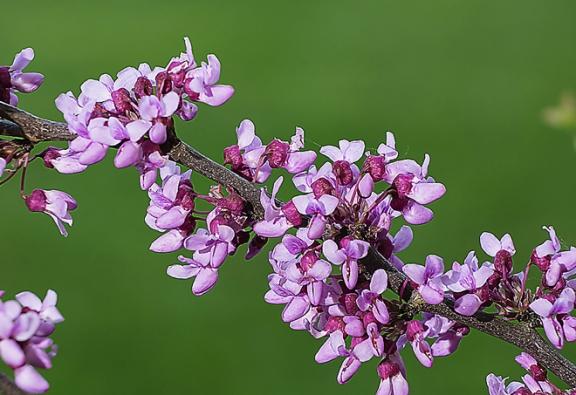 Stromy na slunce: Zmarlika kanadská Cercis canadensis ´Forest Pansy´ svínově červeným listem dosahuje výšky asi 5 až 7metrů. Kvete vpředjaří výraznými, růžově purpurovými květy. Miluje slunce, obstojí ivpolostínu.