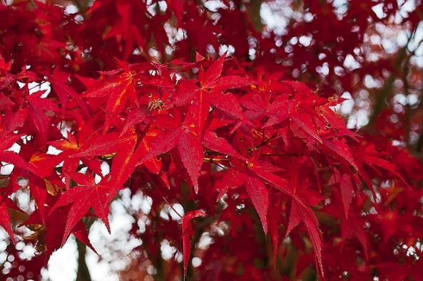 Stromy do stínu: Zelená forma javoru dlanitolistého Acer palmatum ´Heptalobum´ svyšším vzrůstem je ojedinělá podzimním zbarvením. Nejlépe vynikne vespolečnosti rododendronů, chráněná vyššími stromy.