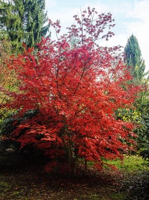 Stromy do stínu: Javor dlanitolistý Acer palmatum ´Trompenburg´ nejlépe roste nahlubokých, propustných anevysychavých půdách. Dospělý stromek může být vysoký až 5 metrů. Daří se mu ale jen nachráněných místech vřídkém stínu velkých stromů.