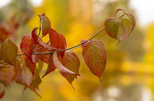 Stromy do stínu: Dřín čínský Cornus kousa var. chinensis je asi nejotužilejším asijským dřínem satraktivními bílými květy kekonci jara anápadnými, jedlými plody vpozdním létě. Dorůstá výšky od4 do6 metrů, vyžaduje ale vlhčí půdy slehkým přistíněním vysokých stromů. Vyniká také podzimním zbarvením.