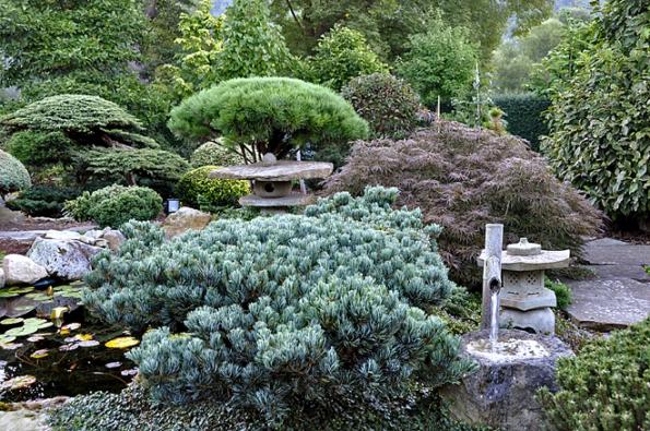 Tsukubai sborovicí drobnolistou, javorem aborovicí hustokvětou (Pinus densiflora ´Umbraculifera´) vpozadí.