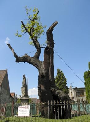 Vazba instalovaná vkoruně památného stromu (Foto: Pavel Kyzlík)