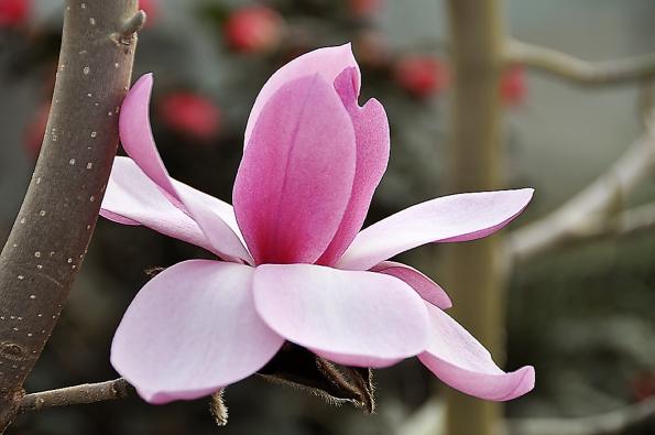 Nádherný květ šácholanu Magnolia Caerhays Belle