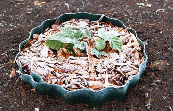 Mulčujte růže (drceným listím shnojivem pro růže), maliníky (drceným listím srašelinou ahnojivem), trvalkové záhony (drceným listím shnojivem) pěnišníky,vřesovce, vřesy, borůvky (rašelinou shnojivem), listnaté stálezelené keře (drceným listím).