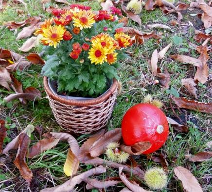 2. Chryzantéma indická neboli listopadka (Chrysanthemum indicum, syn.) prošlechtěna domnoha odrůd. Rostlinu zapusťte iskvětináčem.