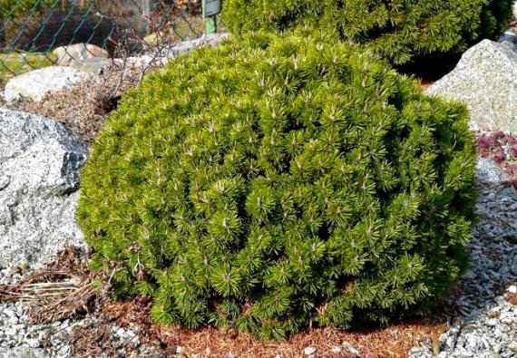 4. Borovice kleč (Pinus mugo) jen zakrslé odrůdy 'Kobold', 'Gnom', 'Mops'.