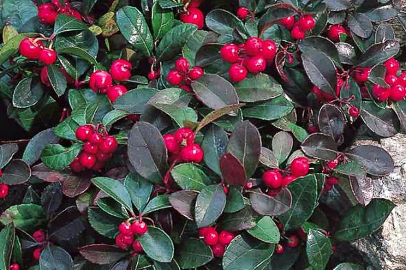 5. Libavka polehlá (Gaultheria procumbens) stálezelený plazivý keřík, bílé květy VII.–VIII., červené jedlé plody napodzim vydrží dojara.