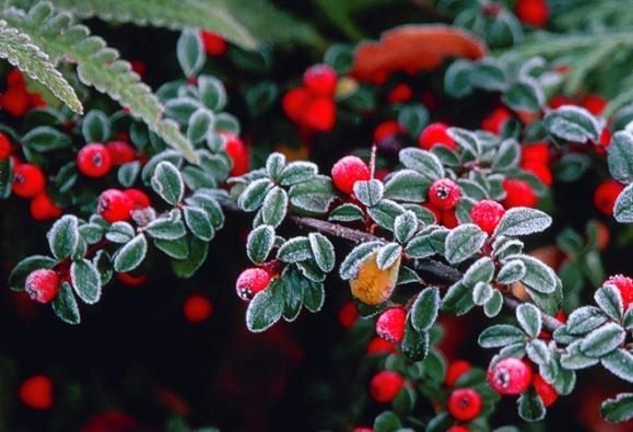 6. Skalník drobnolistý (Cotoneaster microphyllus), nízký, 25–59cm vysoký keřík se stálezelenými listy ačervenými plody. Nenáročný, roste naslunci i vpolostínu.
