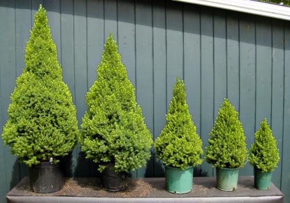 7. Smrk sivý (Picea glauca) jen zakrslé odrůdy  'Conica' nebo 'Echiniformis'.