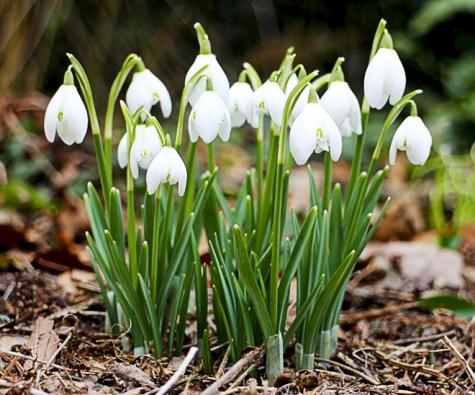 8. Sněženka podsněžník () ataké talovín zimní (Eranthis hyamalis) ašafrány (Crocus) oživí truhlíky nabalkoně anádoby naterasách či střešních zahradách vúnoru. Cibulky ahlízky vysazujte vsrpnu nebo vzáří.