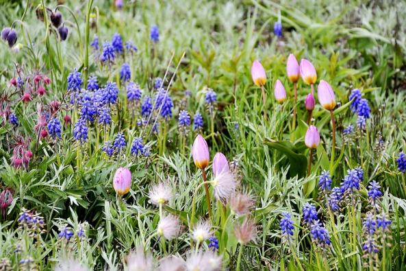 Jarní aspekt trvalkové směsi s kvetoucími modřenci, které následně zatáhnou, tedy jejich nadzemní část uschne.