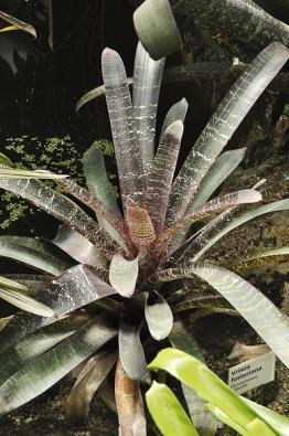 Vriesea fosteriana není úplně malá rostlina, ale má nádherné skvrnité listy.