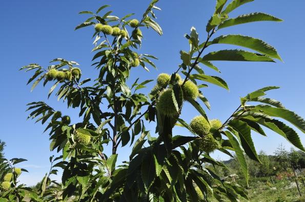 Kaštanovník setý (Castanea sativa)