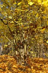Nádherná podzimní barva lísek, zlatě jásavá jako slunce. Lísky můžete jednou za několik let seřezávat (v zimě), získáte kvalitní tyče. Říká se tomu kopicování.