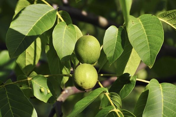 Nedozrálé ořechy jsou skvělou surovinou pro ořechová vína, tinktury alikéry.
