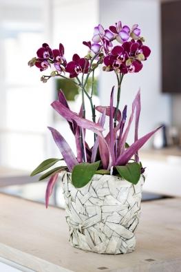 """Český název """"orchidej motýlokvětá"""" získal druh Phalaenopsis díky tvaru květů, který připomíná křídla tropických motýlů."""