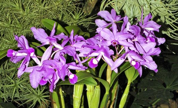 Cattleya Skinneri - veliké, zářivě barevné květy rodu Cattleya jsou pro mnoho lidí typickými orchidejemi.