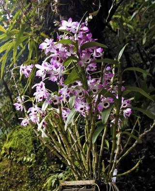 Dendrobium Nobile pochází z chladných a sezonně suchých hor severního Thajska, Laosu, Vietnamu a jižní Číny.