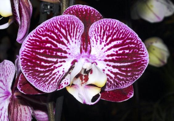 Phalaenopsis - nejčastěji pěstované orchideje v domácnostech